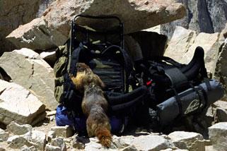 Mount Whitney Summit Marmot